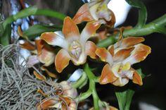 Chysis bruennowiana (Chysis aurea var. maculata)