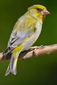 Pretty Birds, Beautiful Birds, Song Thrush, Greenfinch, Canary Birds, Photoshop Photography, Colorful Birds, Bird Species, Art Club