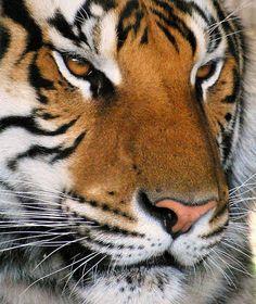 Beautiful Siberian Tiger by NateFischPix, via Flickr