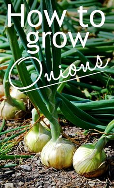 How to grow your own onions - they are such an easy home crop! Plant sets in spring and harvest tasty bulbs all summer.