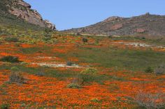 Beautiful flowers in Cape Westcoast, South Africa