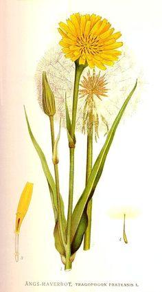 Tragopogon pratensis L. * - Google Search