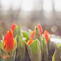Marianne's Have: Rema Tulipaner