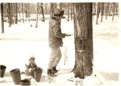 tapping the maple tree.
