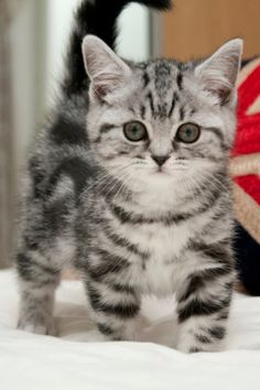 American Bobtail Cat Breeds - Cats In Care Kittens And Puppies, Cute Cats And Kittens, Baby Cats, I Love Cats, Cool Cats, Kittens Cutest, Tabby Kittens, British Shorthair Silver Tabby, American Shorthair Cat