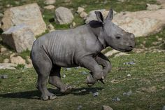 Southern White Rhino Calf Kayode by Official San Diego Zoo, via Flickr