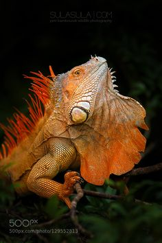 Orange Green Iguana Male Portrait Fom Stock Photo (Edit Now) 1220833912 Jungle Animals, Nature Animals, Animals And Pets, Cute Animals, Animals Planet, Reptiles Et Amphibiens, Mammals, Iguana Tattoo, Costa Rica