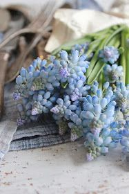 Beautiful little muscari, with your spring-sky blue appearing from the earth.