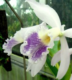 Cattleya labiata var. coerulea ~ Orchidee