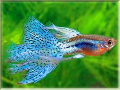 Freshwater Fish List Beginning With G Tropical Fish Aquarium, Freshwater Aquarium Fish, Fish Aquariums, Guppy, Fish List, Beautiful Fish, Goldfish, Fresh Water, Underwater