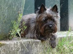 Terrier Dog Breeds, Cairn Terriers, Scottish Terriers, Big Dogs, I Love Dogs, Dog Photos, Dog Pictures, Dog Ramp, Fox Dog