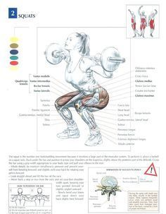 Squats ♦ #health #fitness #exercises #diagrams #body #muscles #gym #bodybuilding #legs