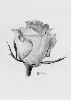 45 images drawn in pencil roses cute flower sketch pencil, pencil drawings Flower Sketch Pencil, Pencil Drawings Of Flowers, Rose Sketch, Pencil Drawings Of Animals, Pencil Shading, Flower Sketches, Drawing Sketches, Botanical Drawings, Botanical Art