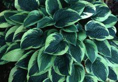 WIDE BRIM HOSTA PLANT