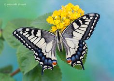 Magnificent Butterfly! Papilio machaon ♂