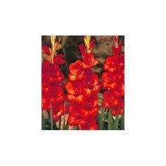 Mečík červený - jarní cibuloviny - pěstování cibulovin