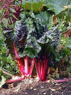 the right way to harvest rhubarb in 3 steps