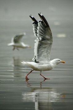 the seagull analysis