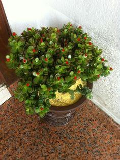 pflegeleichte zimmerpflanzen geldbaum