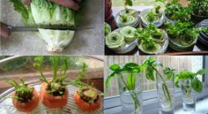 Grow veggies from veggies!