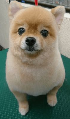 Baby Puppies, Baby Dogs, Pet Dogs, Dog Cat, Doggies, Cute Baby Animals, Funny Animals, Dog Haircuts, Japanese Dogs