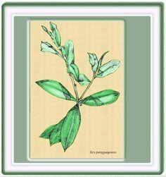 yerba mate (Ilex Paraguariensis) de la familia de las aquifoliaceas