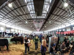 Fort Worth Stock Show and Rodeo Cattle Barn, Show Cattle, Fort Worth Stock Show, Payday Loans Online, Texas Photography, Showing Livestock, Bull Riding, Ffa, How To Show Love