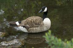 http://faaxaal.forumgratuit.ca/t1957-photo-d-oiseau-bernache-du-canada-outarde-branta-canadensis-canada-goose