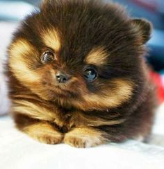 Derek wants a pomsky .. if they stayed this cute, fuzzy, & small .. id agree to it :D