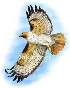 Full color illustration of a Red-Tailed Hawk (Buteo jamaicensis)