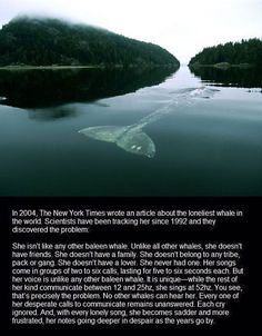 It's The Loneliest Whale In The World