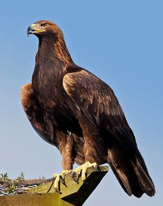 The Golden Eagle (Aquila Chrysaetos) (3)