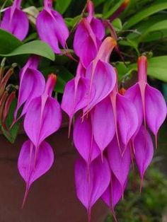 Masdevallia Rosea Species Orchid Plant http://flowersgifts.labellabaskets.com faragmoghaddassi@yahoo.com