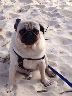 Pug Life. Gus the Pug. Gustov 'enjoying' the beach