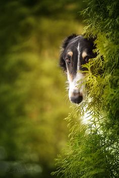 best pictures and images ideas about saluki dog - oldest dog breeds