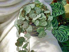 Nombre común: Enredadera rosario - Rosario de corazones Esta pequeña planta es muy común y apreciada en muchos países. Es originaria...