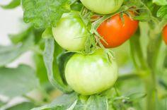 Спеют помидоры