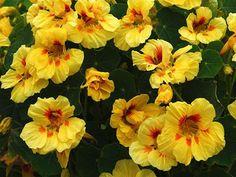 Marigold Tagetes Lemon Gem Appx 600 seeds Annuals /& Biennials