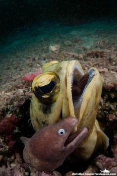 A giant jawfish and white-eye moray eel co-habit in Lankayan.  Photo by Christian Loader   ScubaZoo