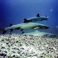 Diving #Komodo: An entirely different version of #shark soup. Way more #sustainable.