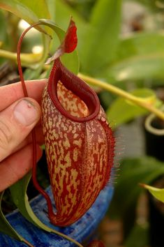 Nepenthes  thorelii x aristolochioides