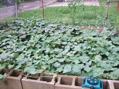 Sweet potato plants in above the ground garden plot made with cinder blocks Grounds, Plants, Garden Plots, Cinder Block, Above Ground Garden, Garden, Sweet Potato Plant, Yard