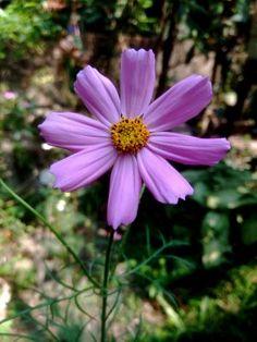 Pink cosmo flower a botanist at work pinterest cosmos cosmos pink cosmo flower mightylinksfo