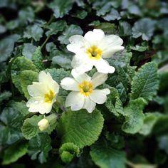 Yes, finally some primroses flowering in the garden #flowers #nearlySpring #signsofspring #primroses