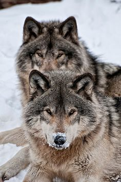 Find images and videos about snow and wolf on We Heart It - the app to get lost in what you love. Wolf Photos, Wolf Pictures, Animal Pictures, Wolf Spirit, Spirit Animal, Beautiful Creatures, Animals Beautiful, Tier Wolf, Animals And Pets