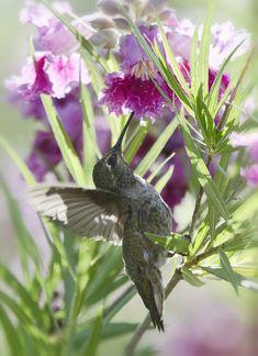 Hummingbird On A Desert Willow