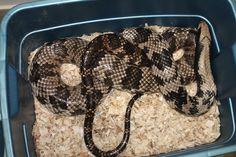 False Water Cobra Ball Python Morphs, Reptiles And Amphibians, Snakes, Pets, Water, Gripe Water, A Snake, Snake, Aqua