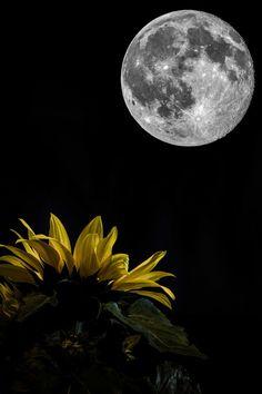 Sunflower and Moon Sunflower Pictures, Sunflower Art, Sunflower Garden, Sunflower Photography, Nature Photography, Full Moon In Pisces, Sunflowers And Daisies, Sun Flowers, Images Disney