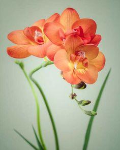Flower Photo, Still Life Photography, Freesia Flower Art, Orange & Green Floral Art Print, Flower Photography Print
