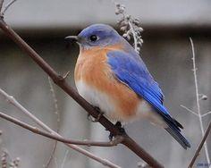 Bluebird  via Wunderground.com